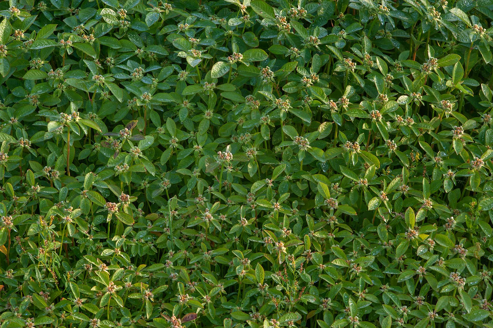Carpet of desert spurge (summer poinsettia...in Irkhaya (Irkaya) Farms. Qatar