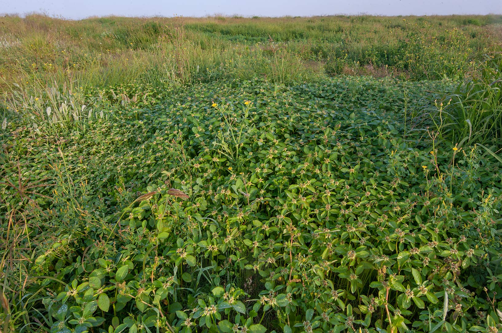 slideshow 155909 dense infestation by desert spurge