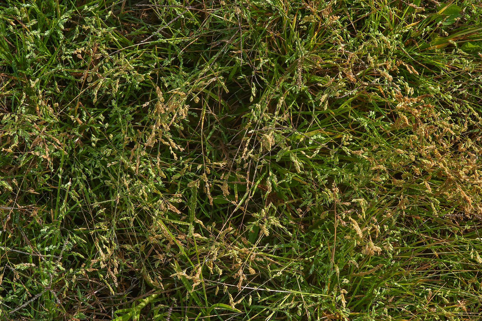 Annual meadow grass (Poa annua) on Green Circles...in Irkhaya (Irkaya) Farms. Qatar