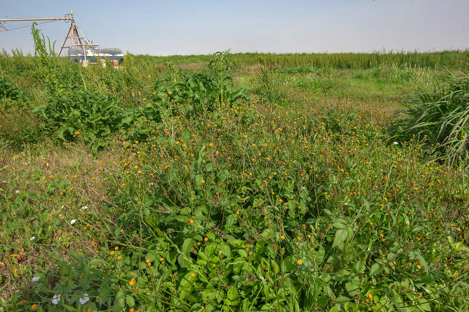 Growth of Spanish Needle (Bidens pilosa) in wet...in Irkhaya (Irkaya) Farms. Qatar