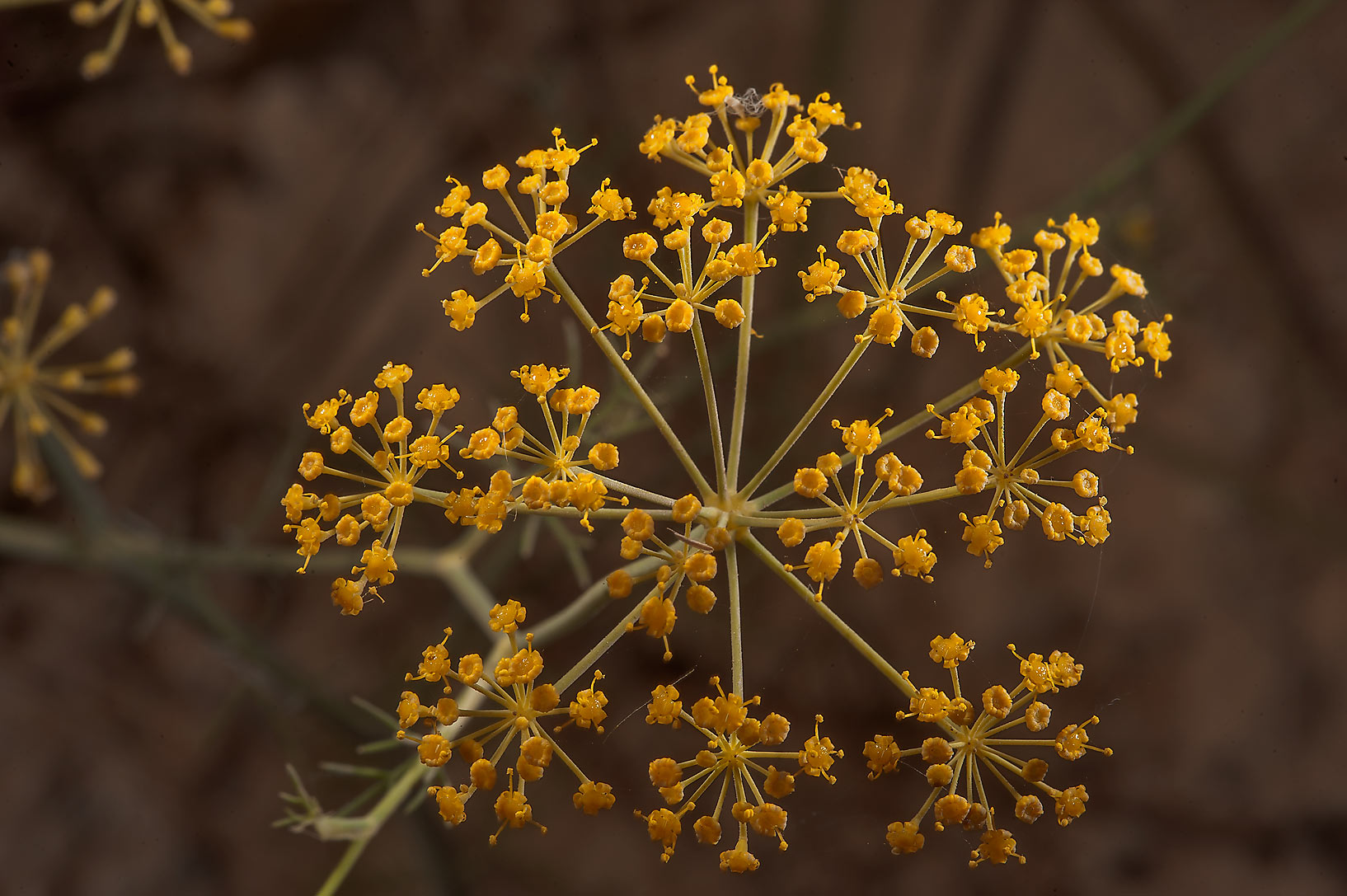 Dill (Anethum graveolens, local names ein jarada...in Irkhaya (Irkaya) Farms. Qatar