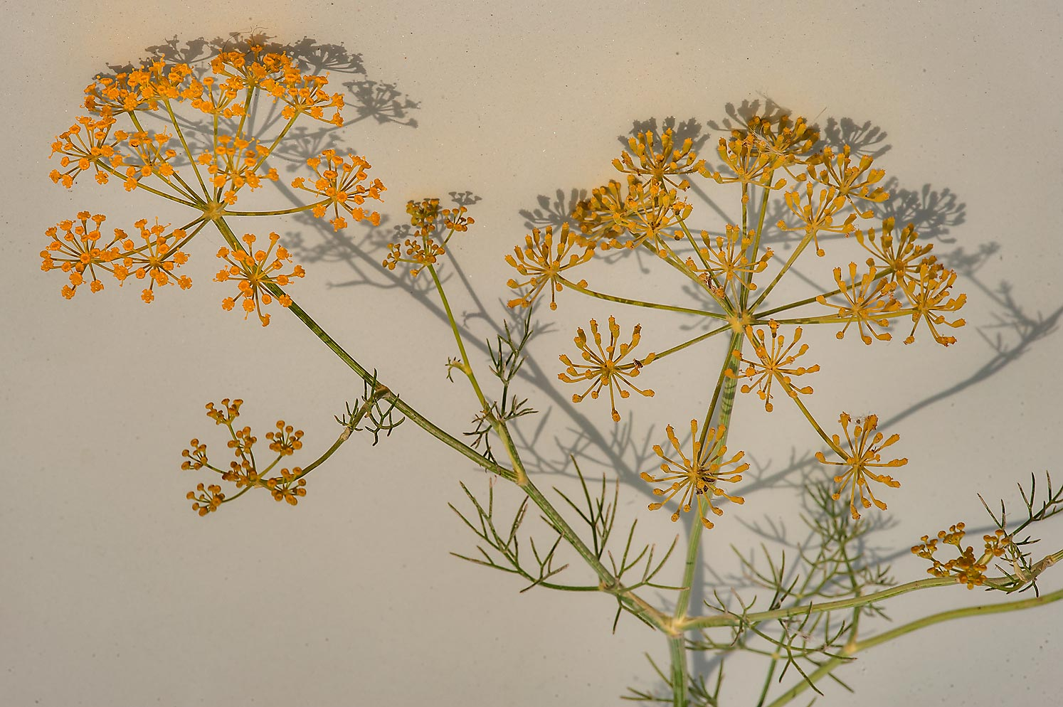 Flowers of dill (Anethum graveolens, local names...in Irkhaya (Irkaya) Farms. Qatar