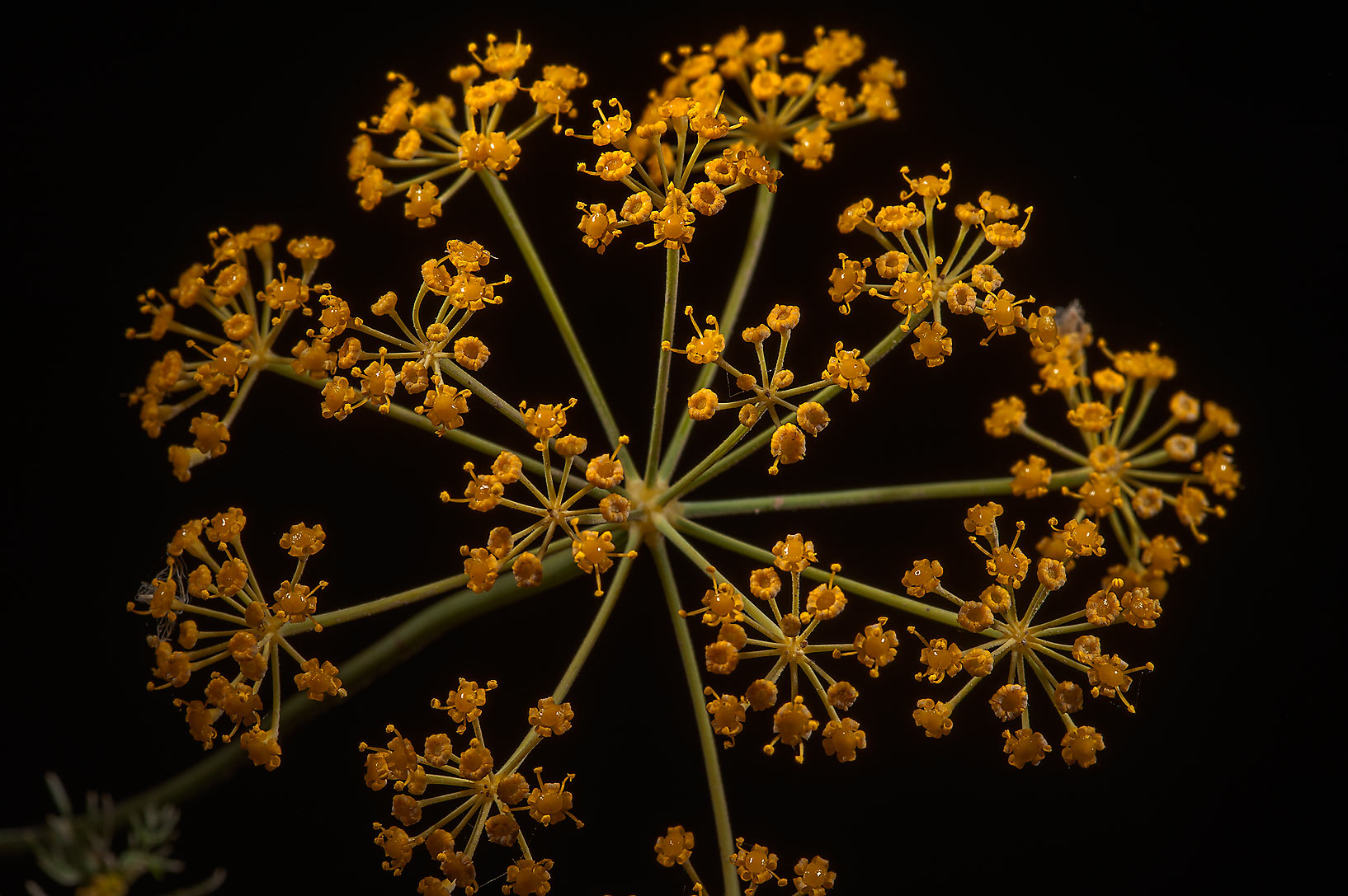 Flower of dill (Anethum graveolens, local names...in Irkhaya (Irkaya) Farms. Qatar