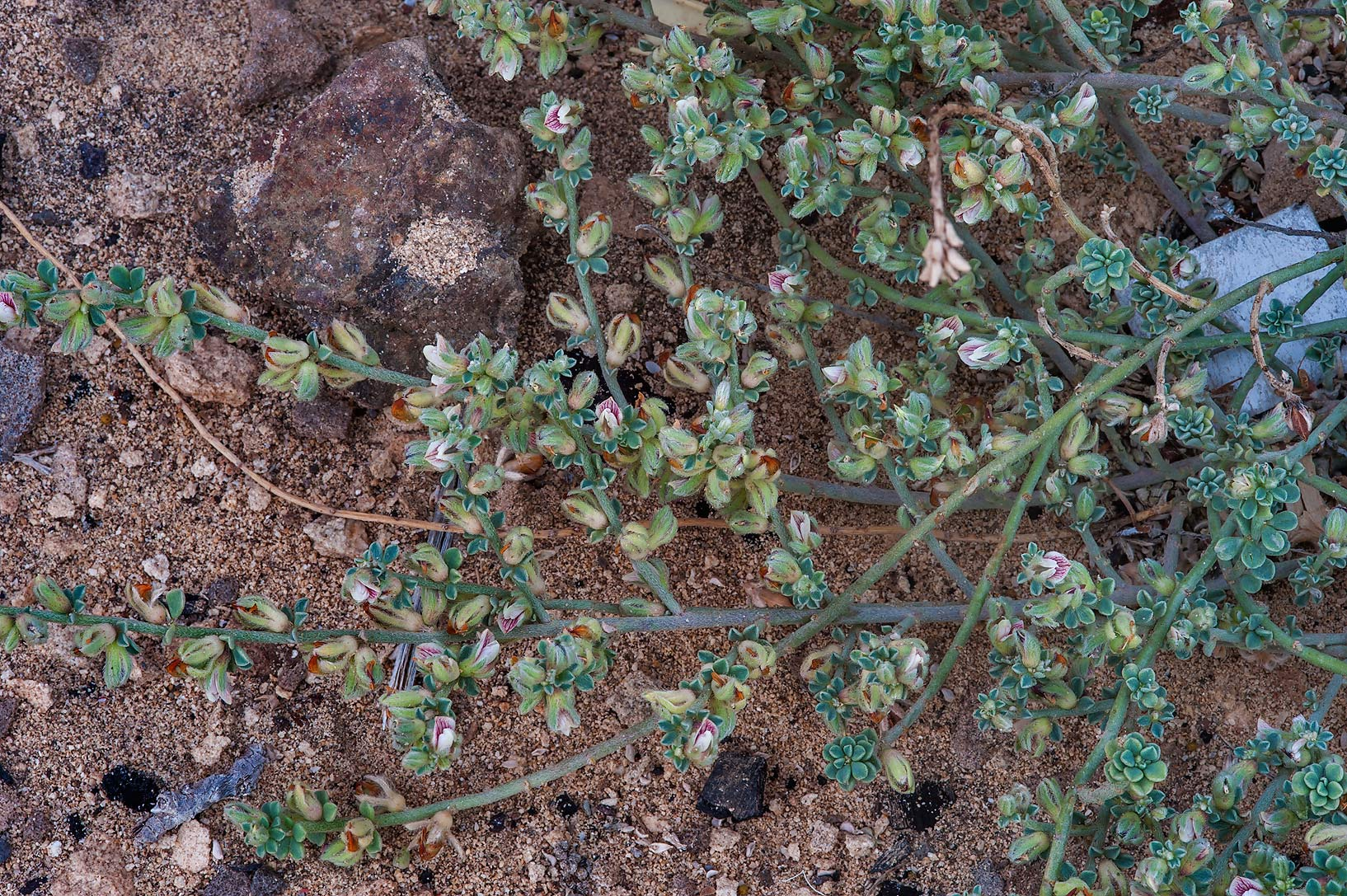 Plant of Lotus garcinii under a rocky ridge of Jebel Fuwairit. Northern Qatar