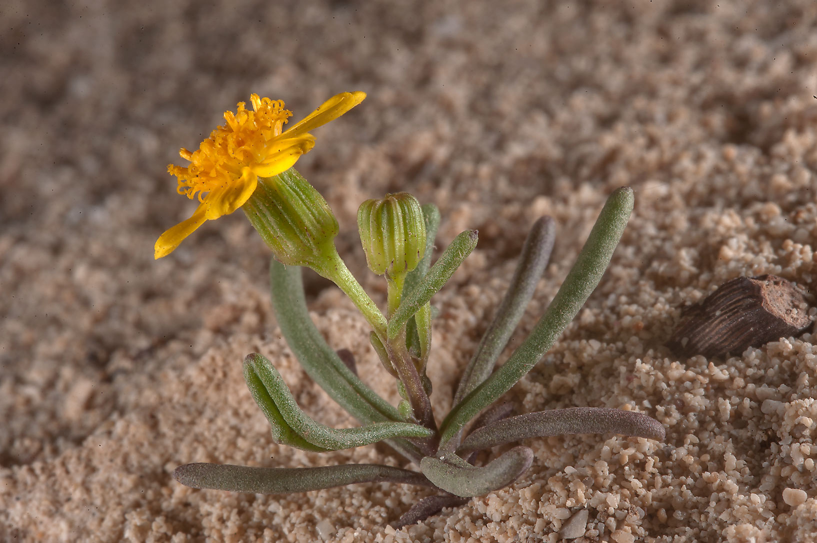 Buck's horn groundsel (Senecio glaucus) on a rocky ridge of Jebel Fuwairit. Northern Qatar