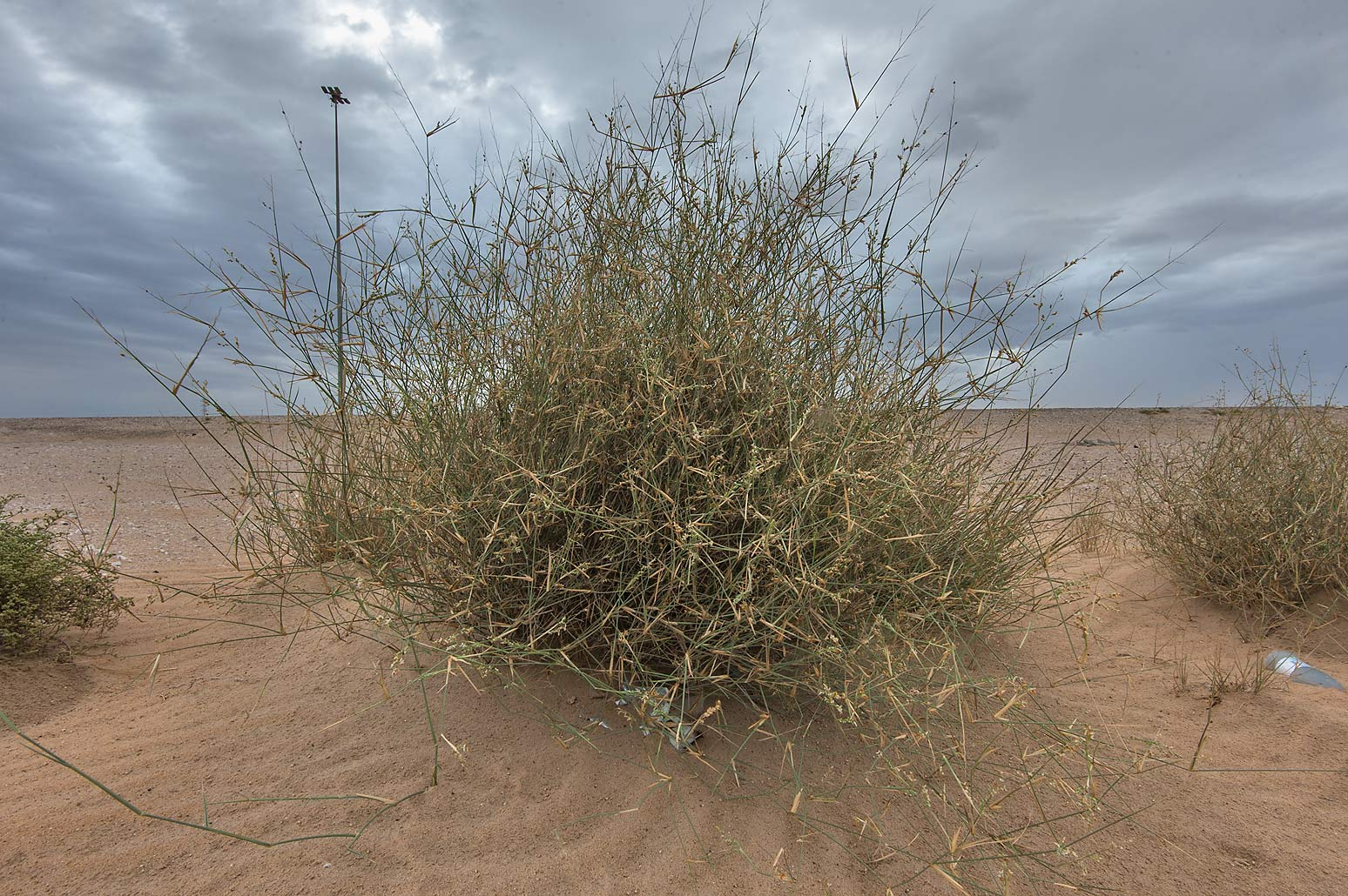 Desert grass Panicum turgidum (local name Thummam...in area of Khashem Al Nekhsh. Qatar