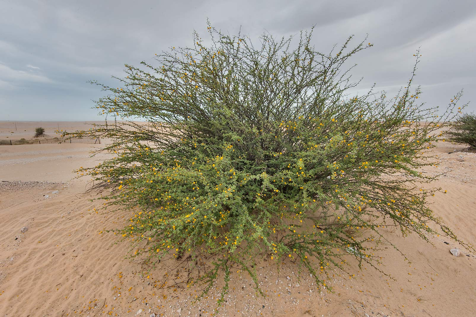 Acacia ehrenbergiana on roadside of Salwa Rd. in area of Khashem Al Nekhsh. Qatar