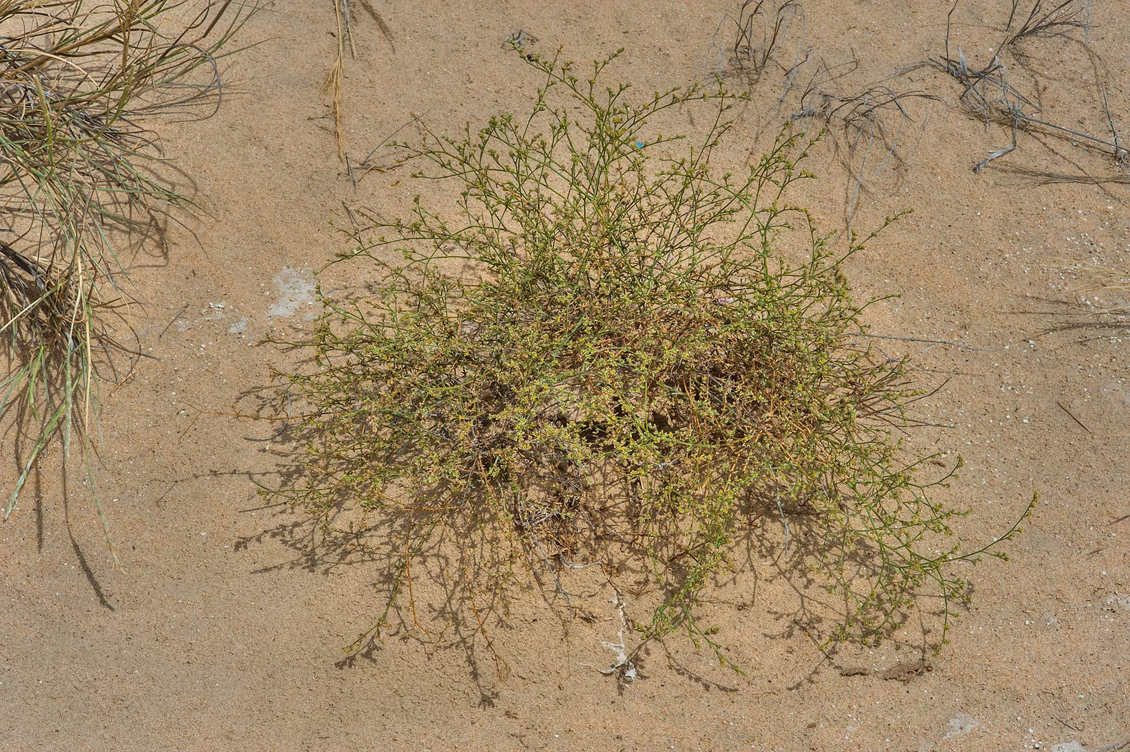 Polycarpaea repens (Corrigiola repens) in sand on...area of Rawdat Ekdaim. Southern Qatar