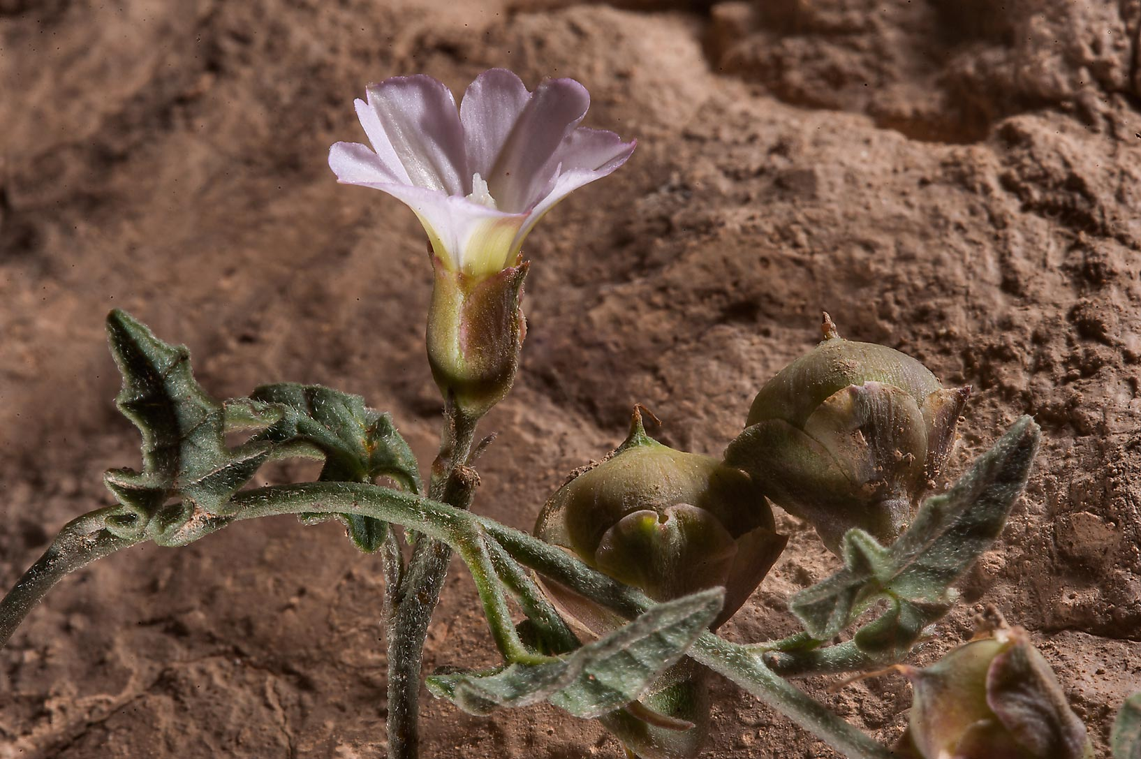 Flower and fruits of bindweed Convolvulus...Nuaimiya) near Zubara. Northern Qatar