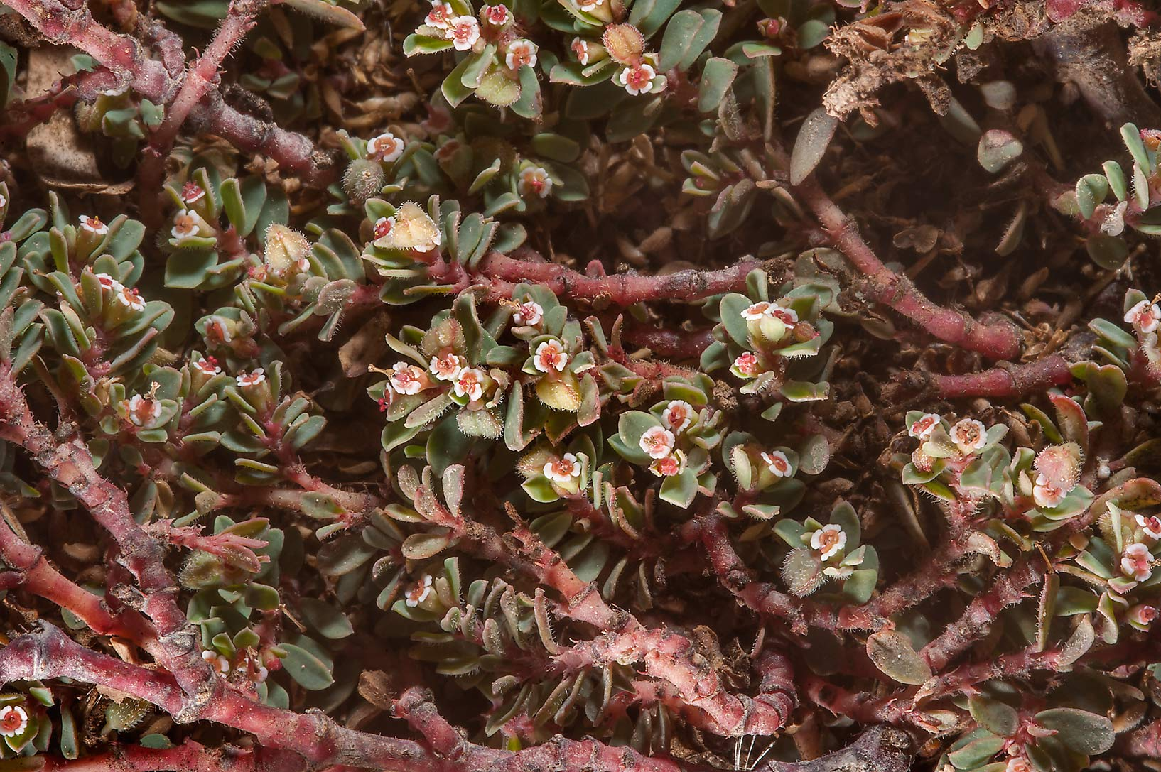 Mat of spurge (Euphorbia prostrata or may be...Nuaimiya) near Zubara. Northern Qatar
