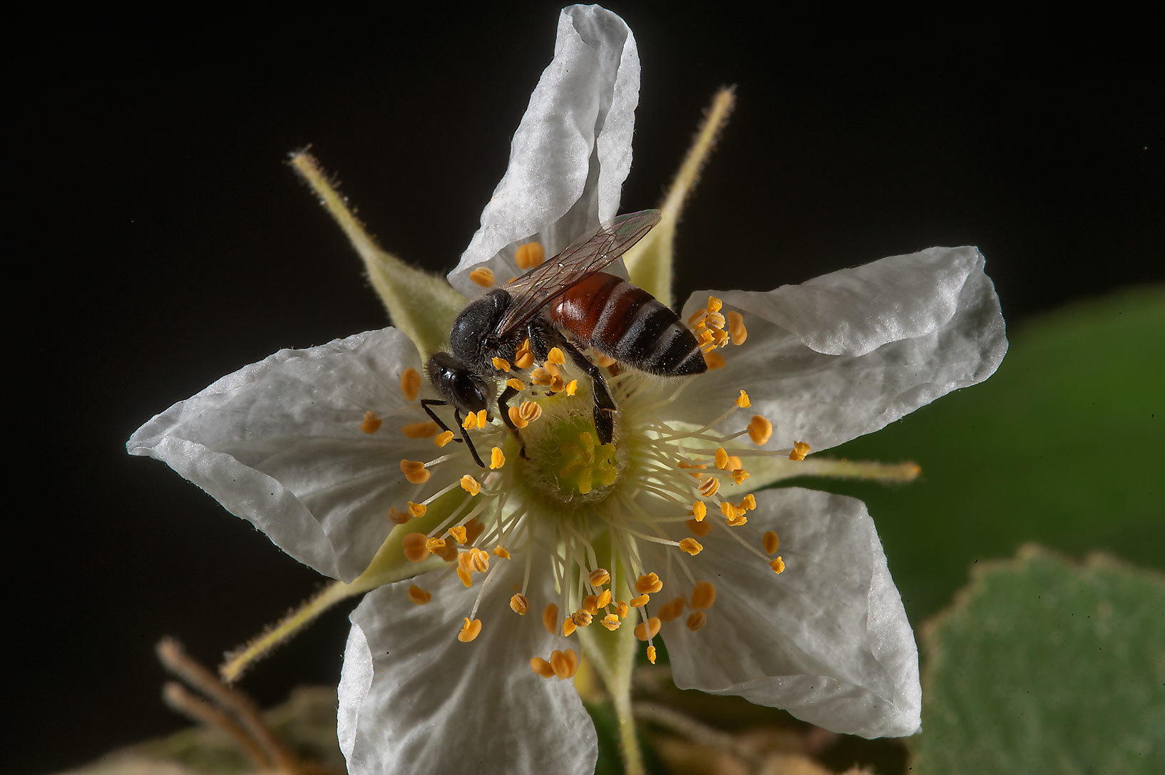 Bee on a flower of calabur tree (Singapore cherry...St. in Lejbailat area. Doha, Qatar