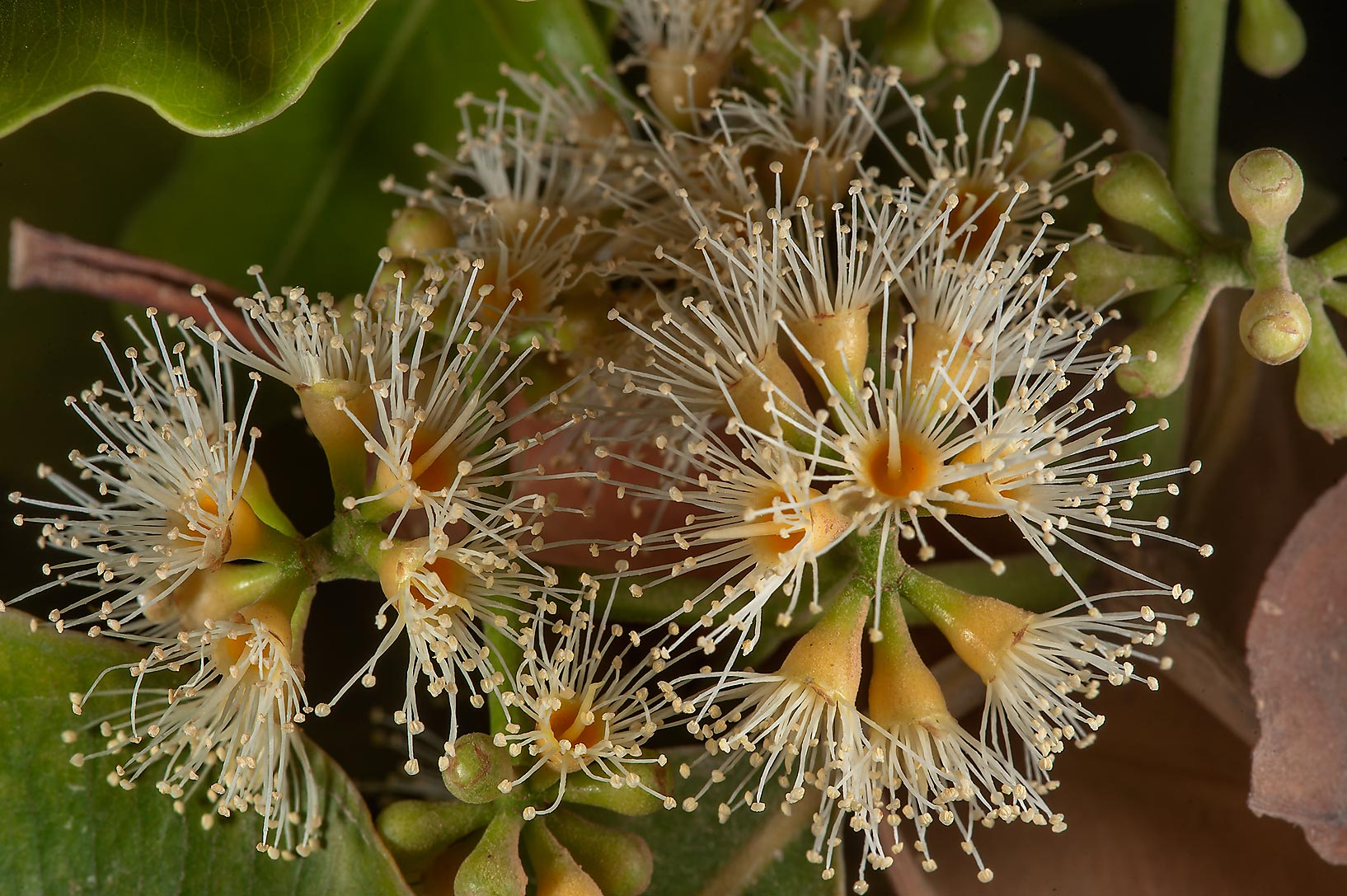 Flowers of rainbow gum tree (Eucalyptus deglupta...Sahl St. in Onaiza area. Doha, Qatar