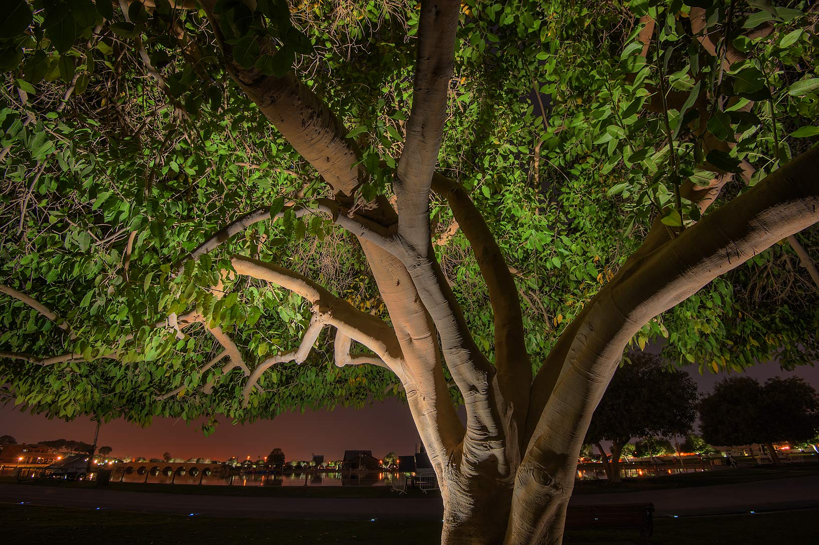 Aspire park-Irkaya Farms, Qatar  - Ficus tree in Aspire Park. Doha, Qatar