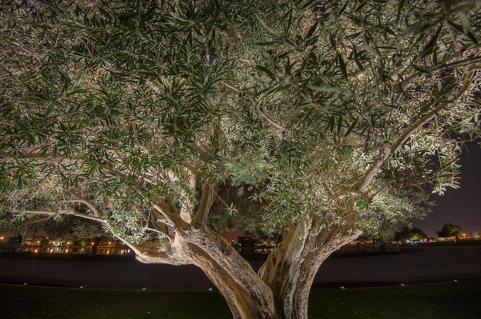 photo 157404 olive tree olea europaea in aspire park
