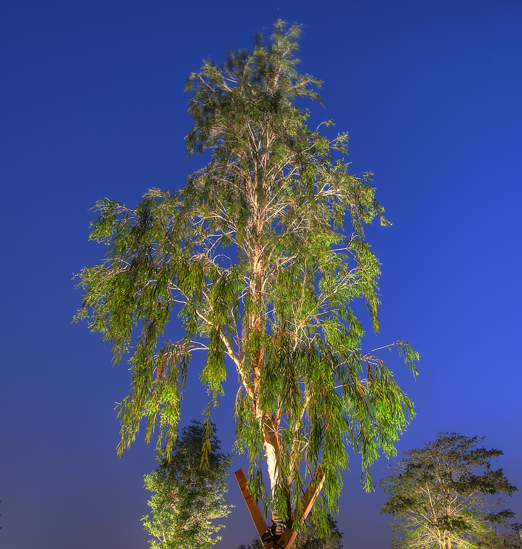 Eucalyptus tree in Aspire Park. Doha, Qatar