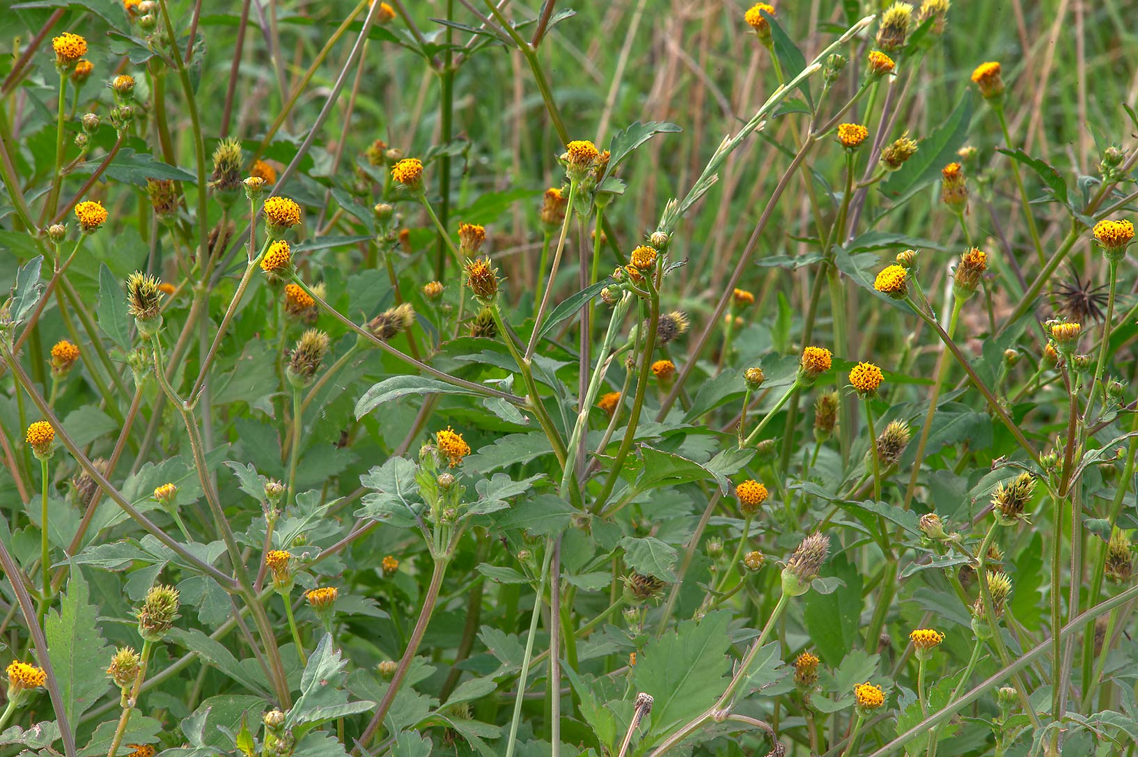 Blooming plants of Spanish Needle (Bidens pilosa...in Irkhaya (Irkaya) Farms. Qatar