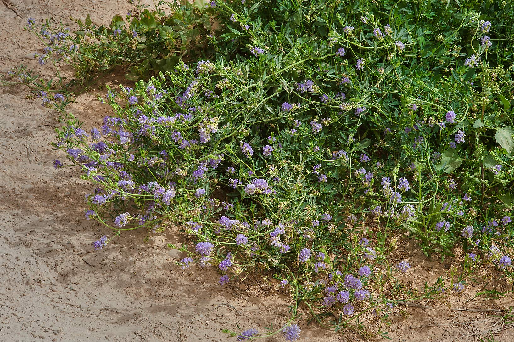 Bush of alfalfa (lucerne, Medicago sativa, local...in Irkhaya (Irkaya) Farms. Qatar