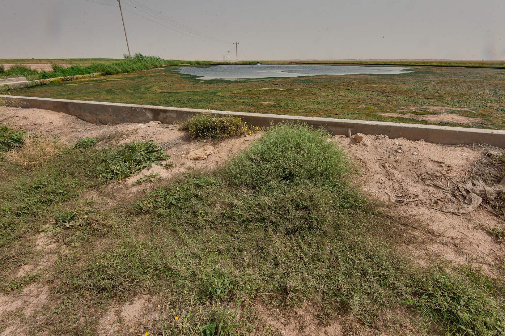 Habitat of spiderling (Boerhavia erecta) near a...in Irkhaya (Irkaya) Farms. Qatar