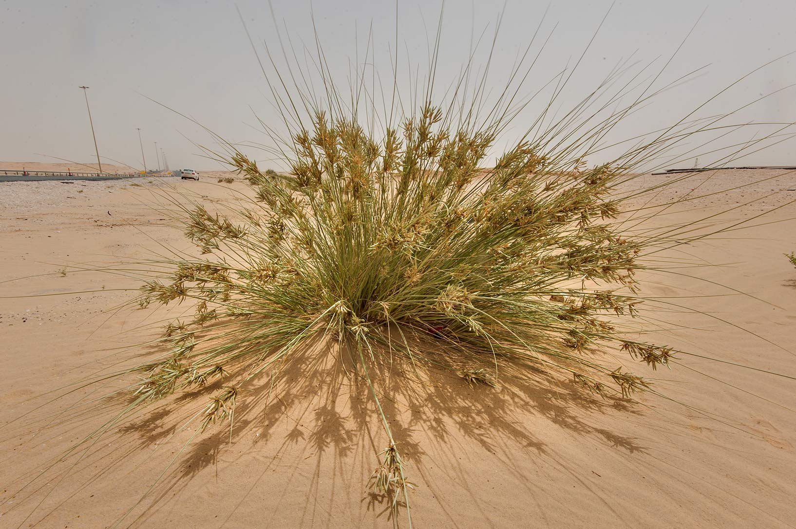 Sedge (Cyperus conglomeratus) in windblown sand...area of Rawdat Ekdaim. Southern Qatar