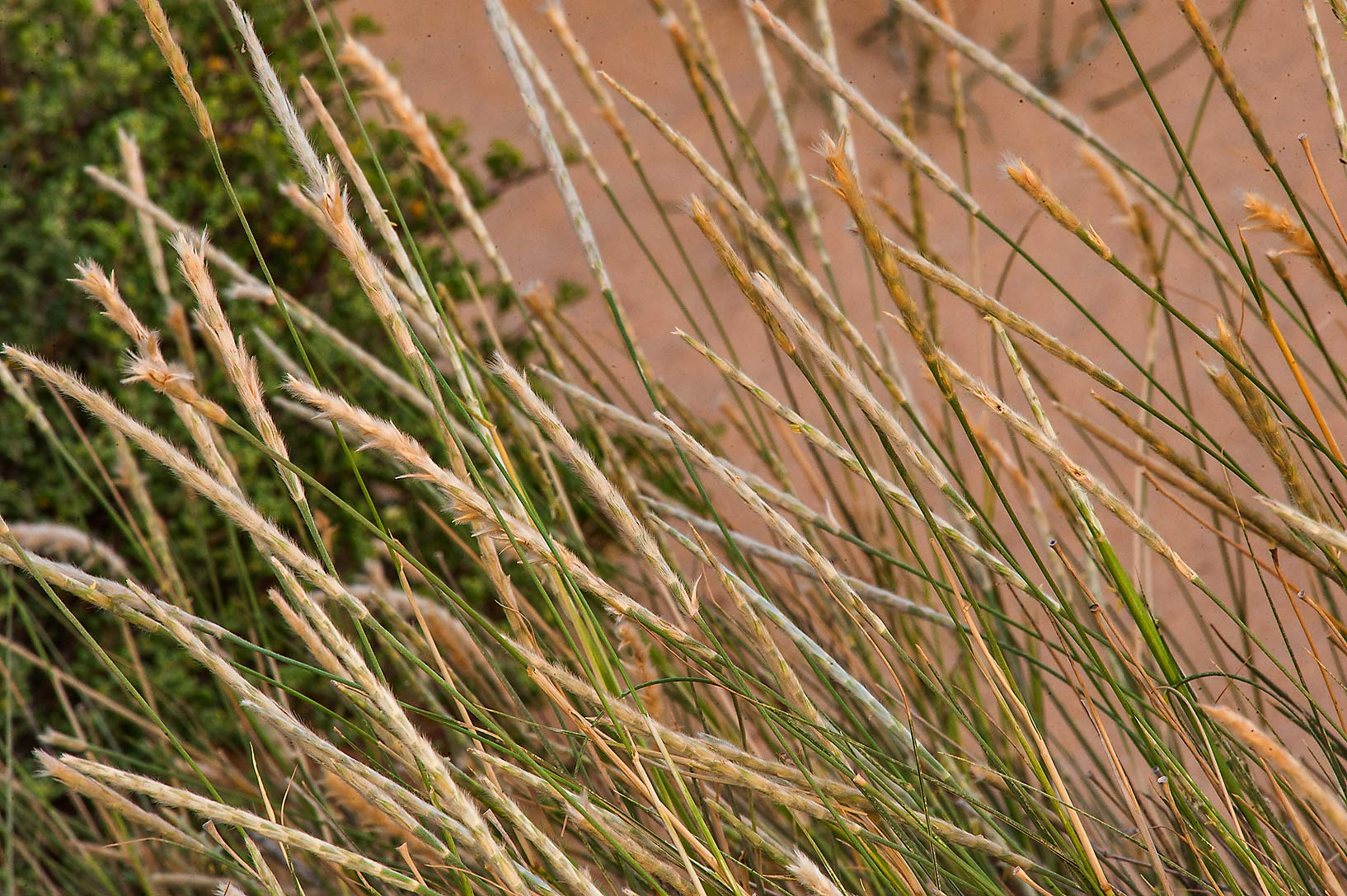 Sewan grass (Lasiurus scindicus) in windblown...area of Rawdat Ekdaim. Southern Qatar