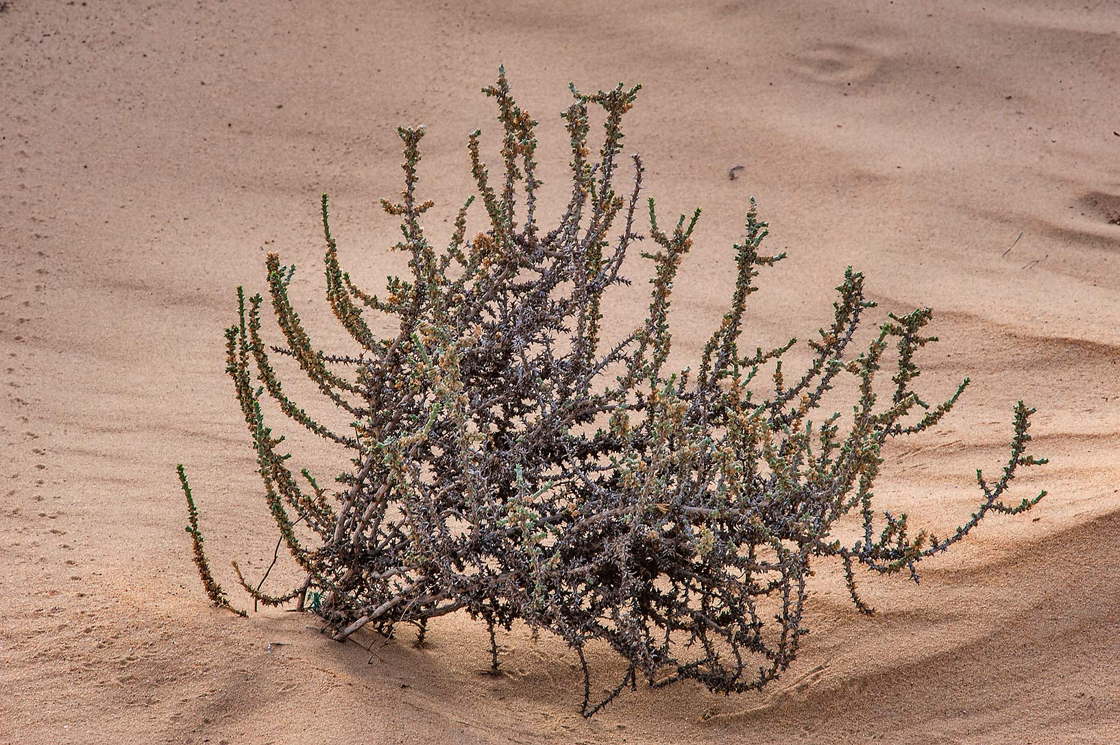 Old bush of Cornulaca monacantha in windblown...area of Rawdat Ekdaim. Southern Qatar