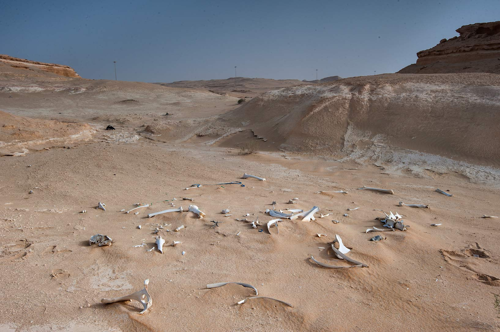 Field of camel bones near Salwa Rd. in area of Rawdat Ekdaim. Southern Qatar