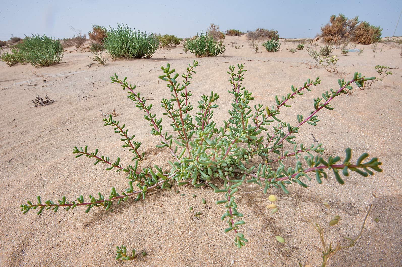 Salsola drummondii with clavate and cylindrical...area of Rawdat Ekdaim. Southern Qatar