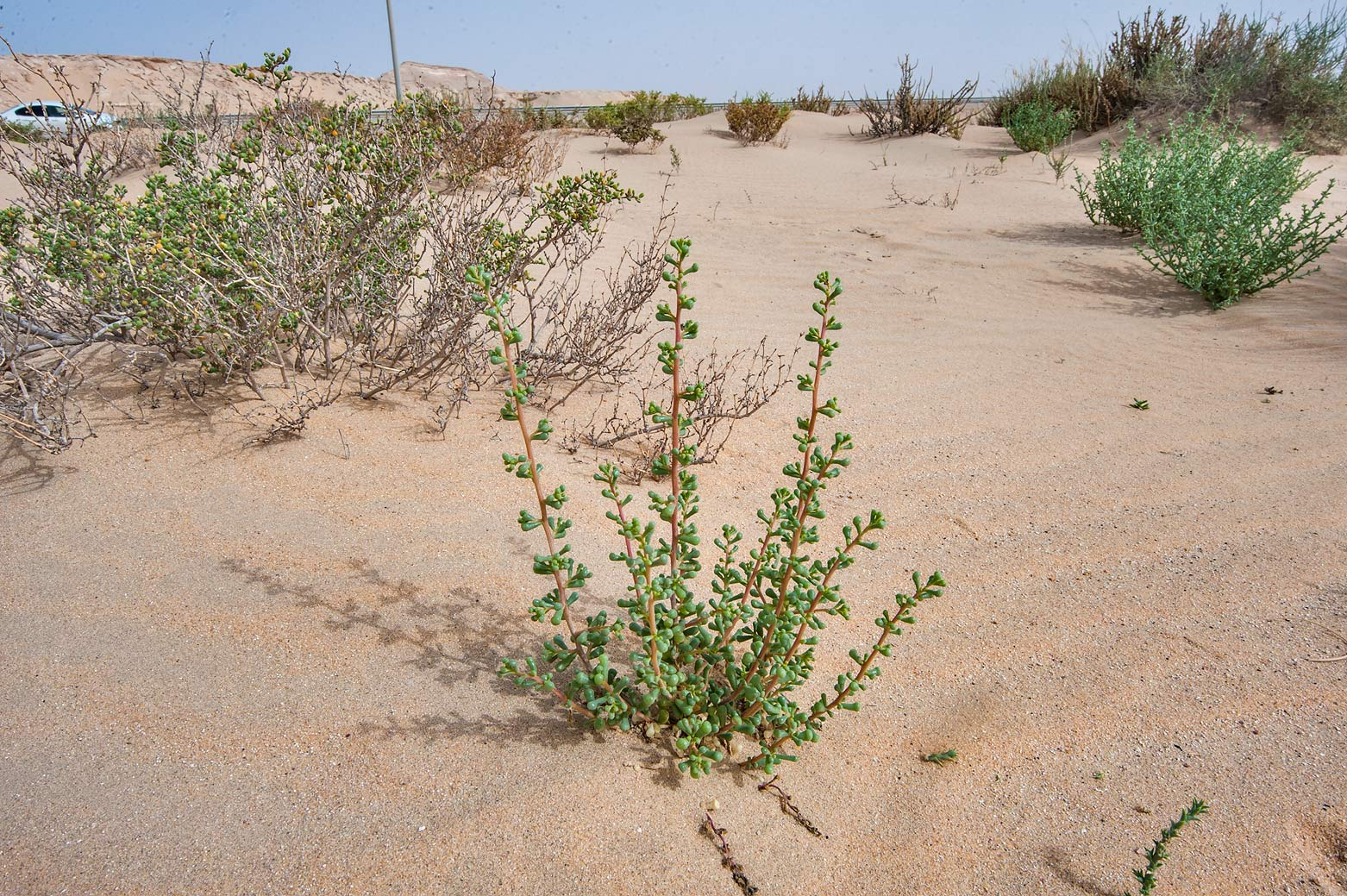 Young bush of Salsola drummondii with club-shaped...area of Rawdat Ekdaim. Southern Qatar