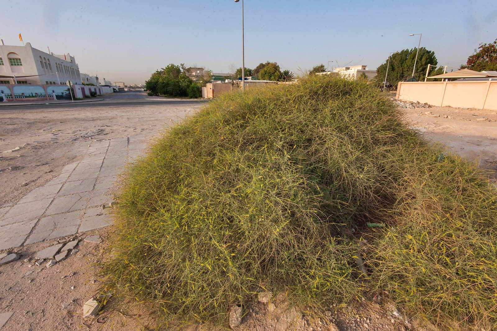 Bush of Ochradenus baccatus on Al Rayhan St. in Al Luqta area. Doha, Qatar
