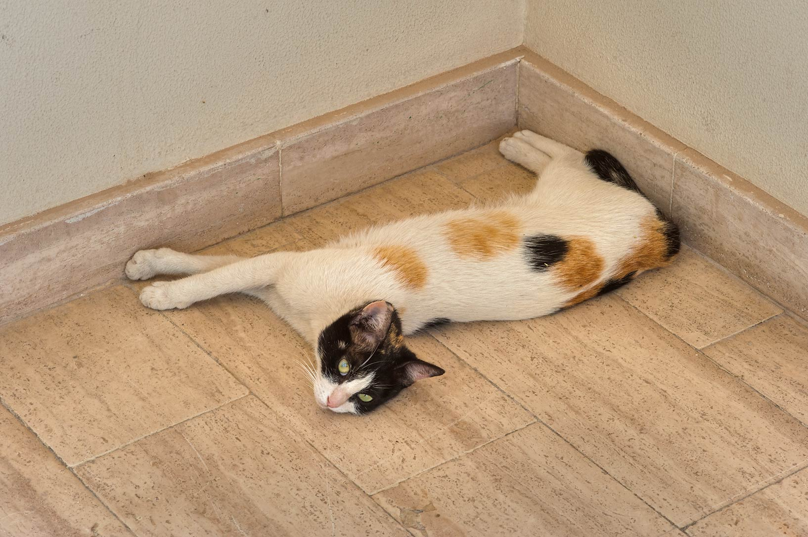 Calico cat in relaxed position at the entrance of...campus of Education City. Doha, Qatar