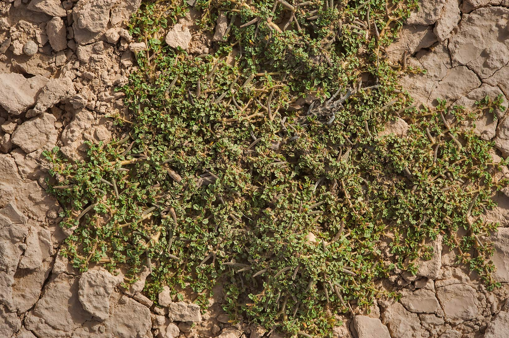 Corchorus depressus in a silty depression in Al...Al Numan) near Zubara. Northern Qatar