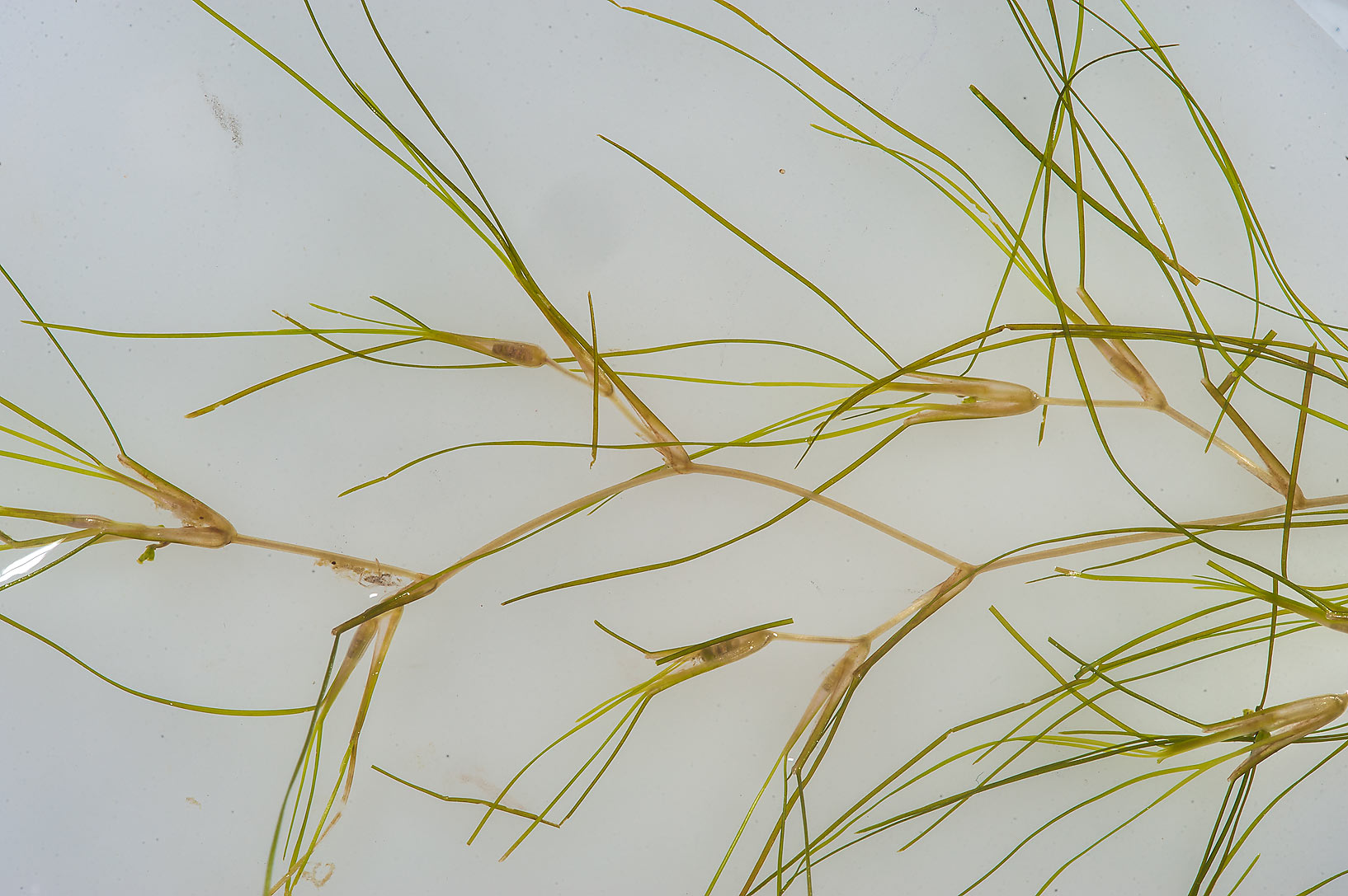 Aquatic plant Widgeon Grass (Ruppia maritima...jail ponds (sewage lagoons). Qatar