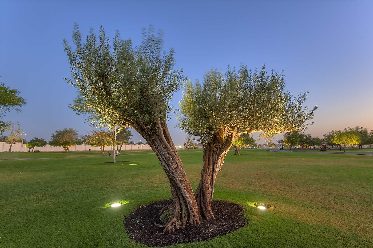 olea europaea flora of qatar. Black Bedroom Furniture Sets. Home Design Ideas