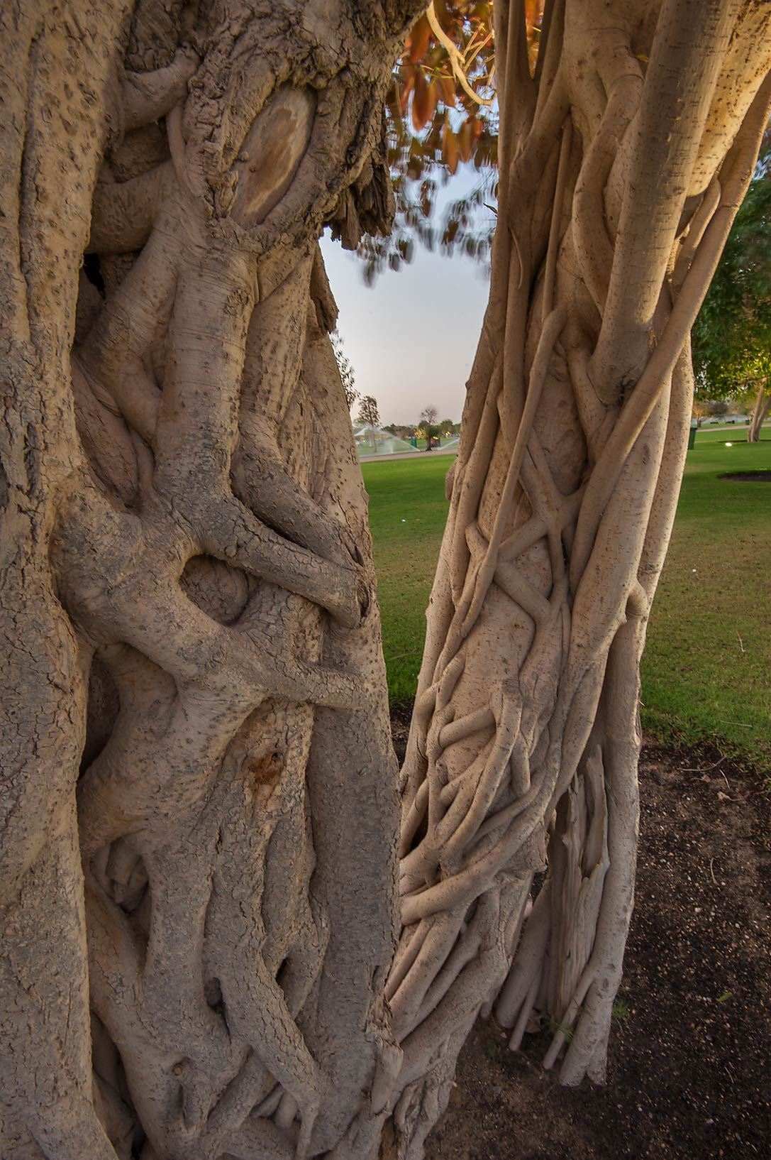 Trunk of a fig tree (Ficus altissima) in Aspire Park. Doha, Qatar