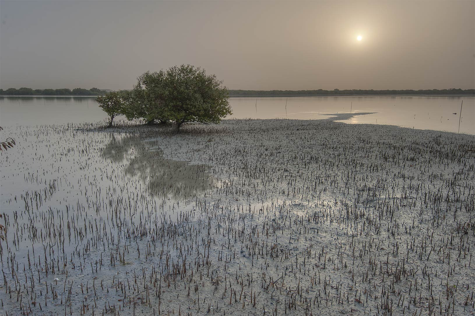 Mangrove tree (Avicennia marina) at sunrise on...Jazirat Bin Ghanim). Al Khor, Qatar