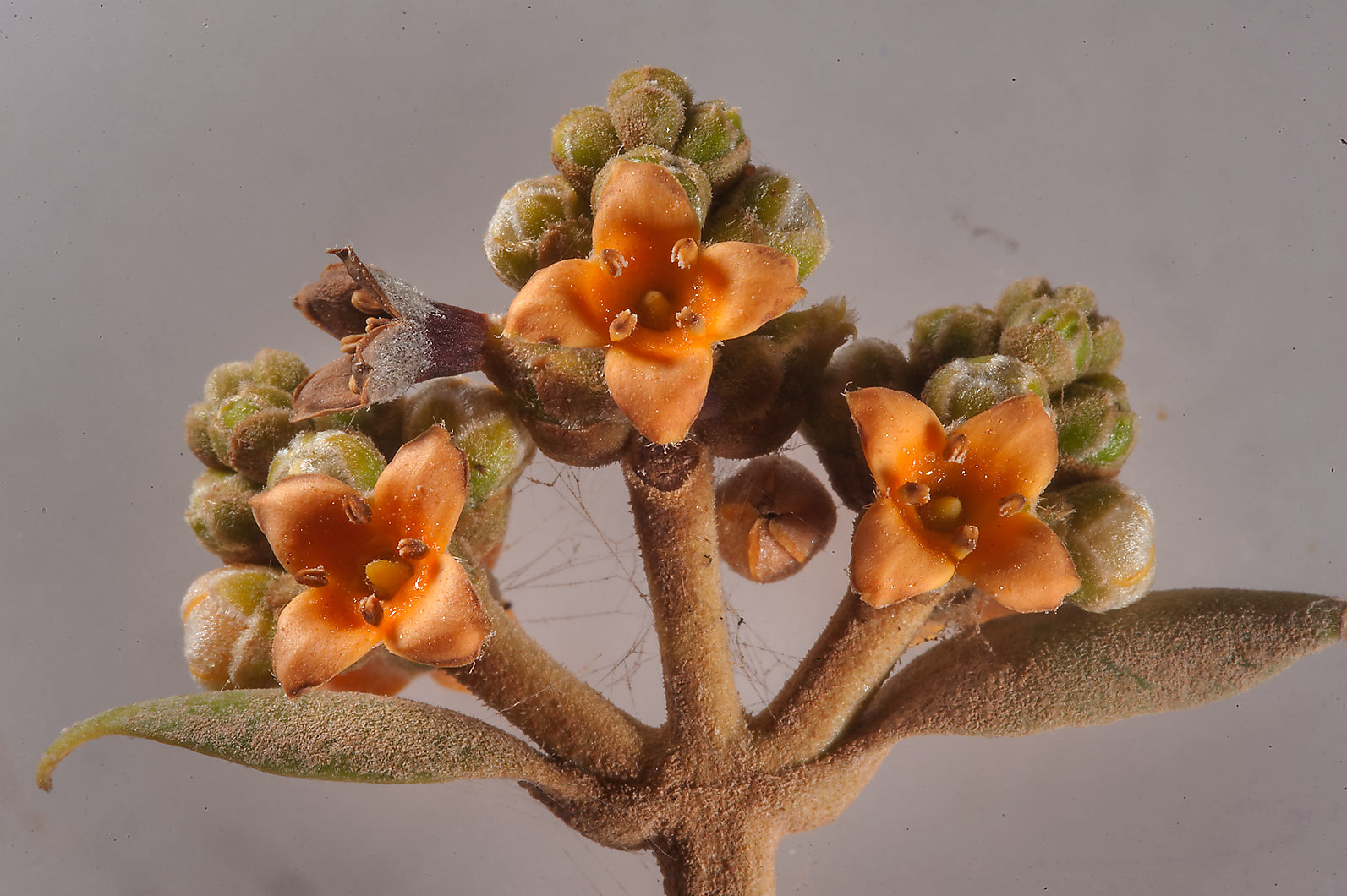 Flowers of mangrove tree (Avicennia marina) on...Jazirat Bin Ghanim). Al Khor, Qatar