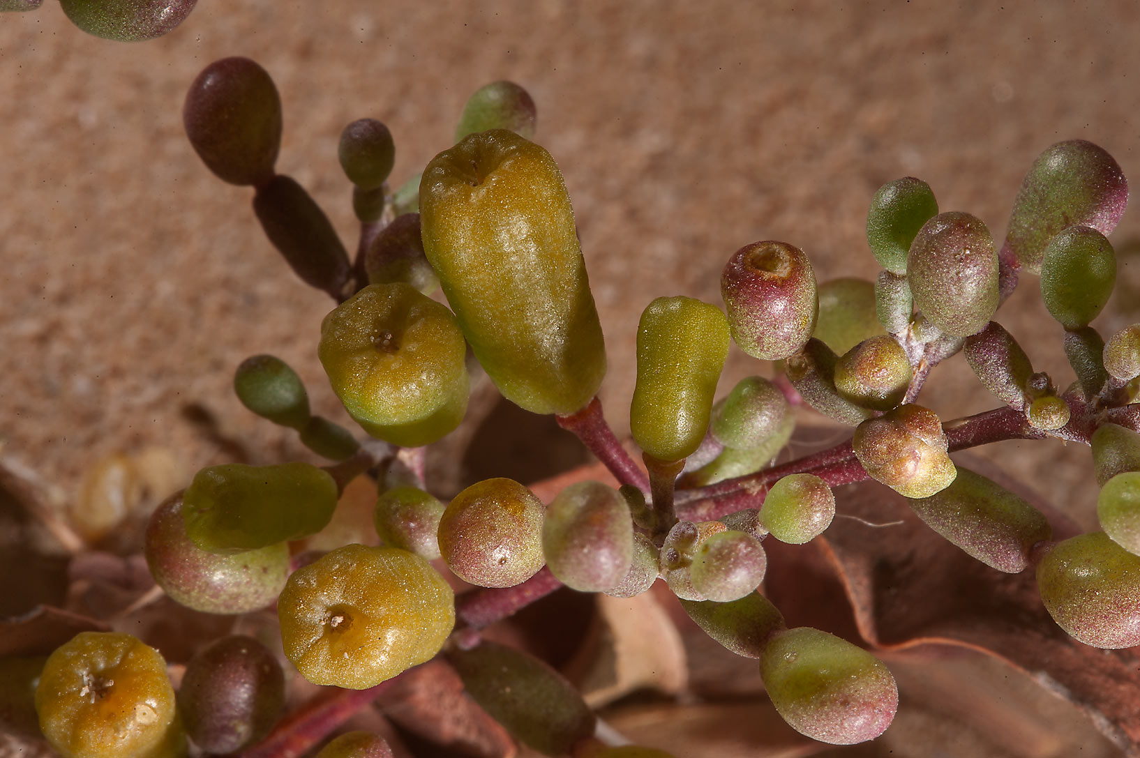 Close up of Tetraena qatarense (Zygophyllum qatarense) plant near Al Khor Hospital. Qatar