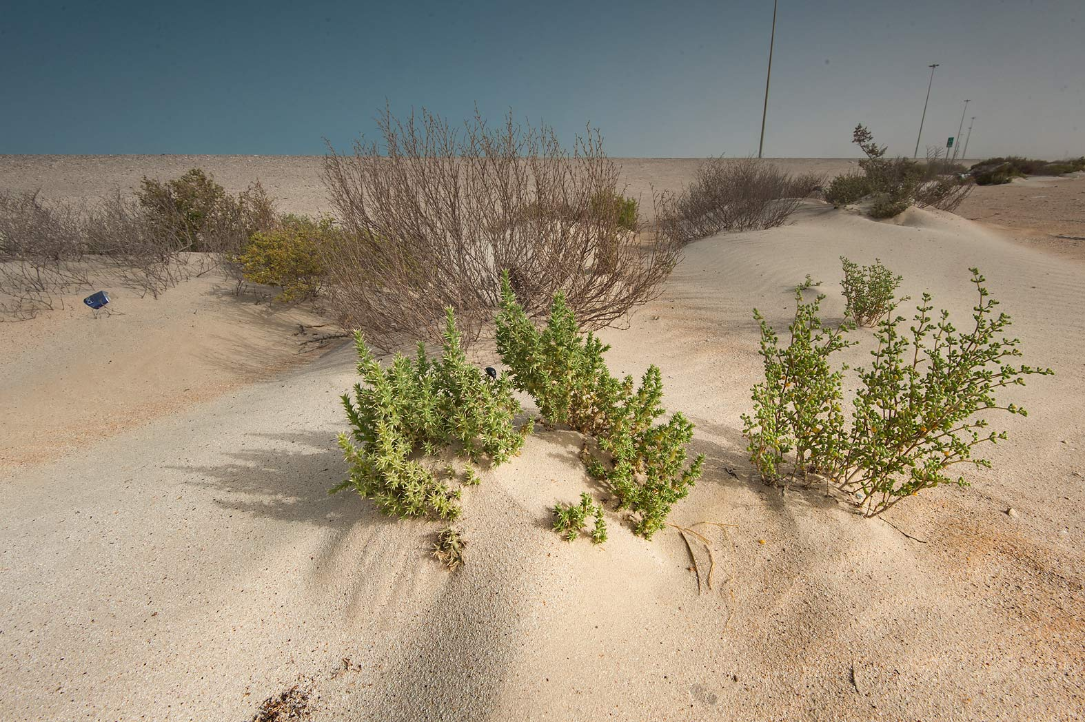Salt tolerant plants in sand on roadside of Salwa...area of Rawdat Ekdaim. Southern Qatar