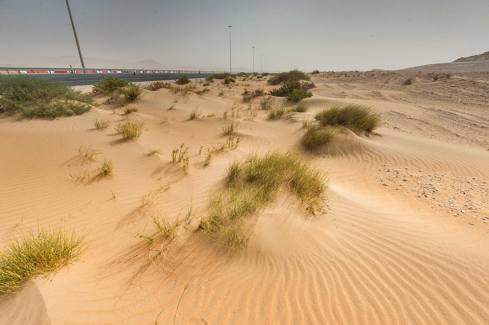 Habitat of Dipterygium glaucum in windblown sand...area of Rawdat Ekdaim. Southern Qatar