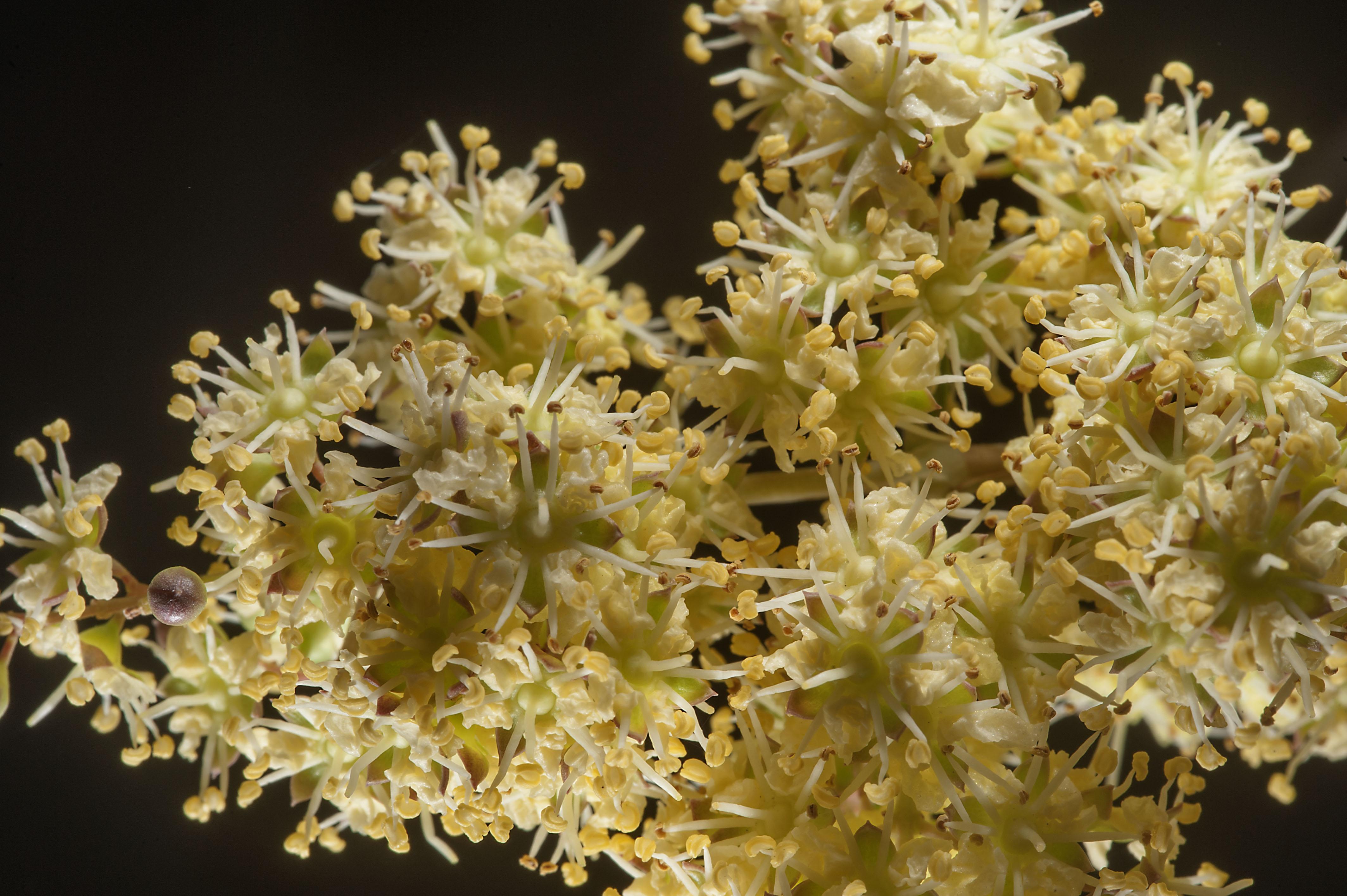 Lawsonia Inermis Flora Of Qatar