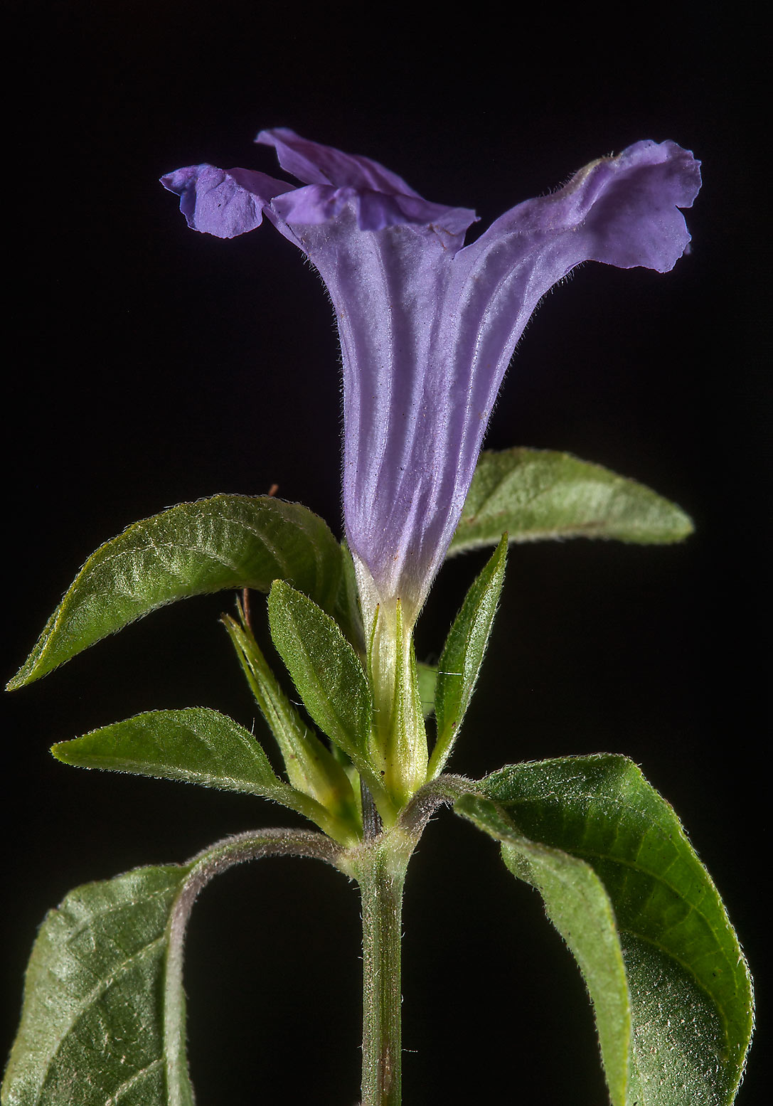 Side view of a flower of bell weed (Ruellia...with Al Adaid in West Bay. Doha, Qatar