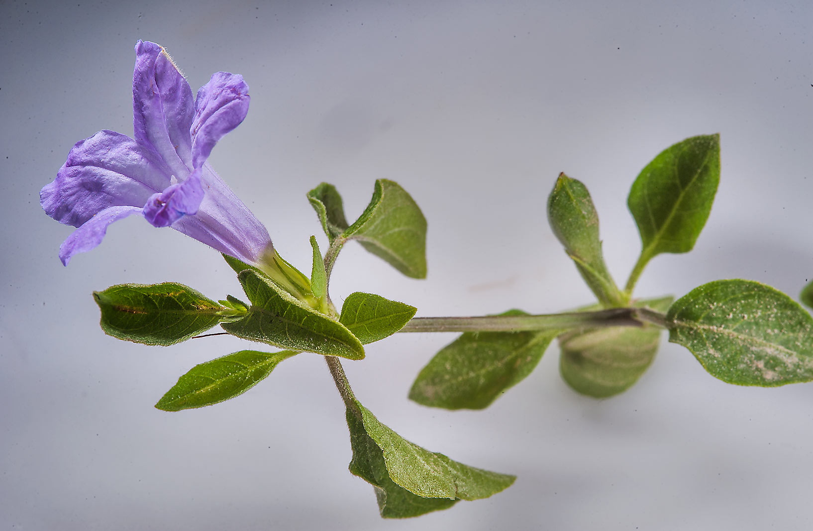 Bell weed (Ruellia prostrata) on white background...with Al Adaid in West Bay. Doha, Qatar