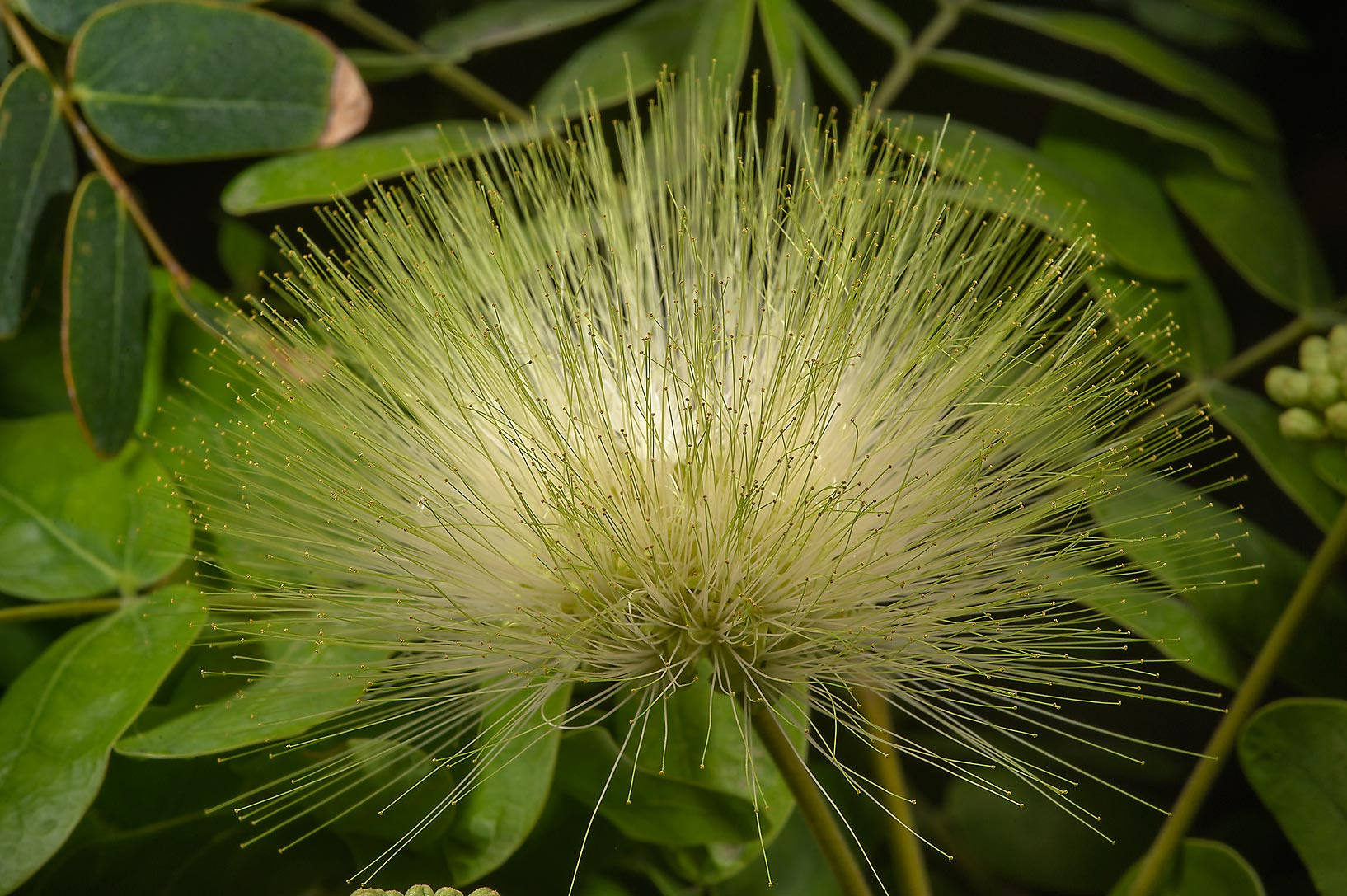 Flower of frywood tree (Albizia lebbeck) on Al Shatt St. in Onaiza area. Doha, Qatar
