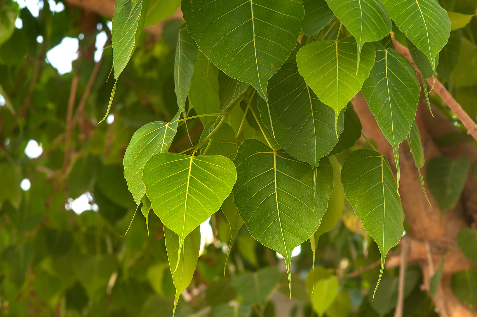Leaves of sacred fig (Bo-Tree, Ficus religiosa...St. Street in Onaiza area. Doha, Qatar