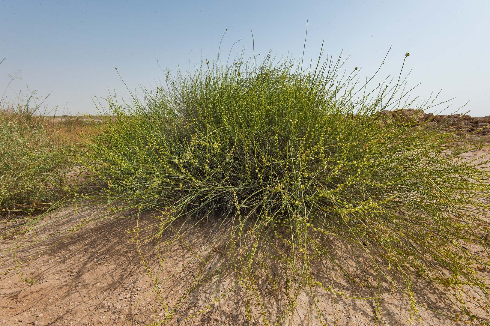 Bush of Ochradenus aucheri on periphery of Green...in Irkhaya (Irkaya) Farms. Qatar