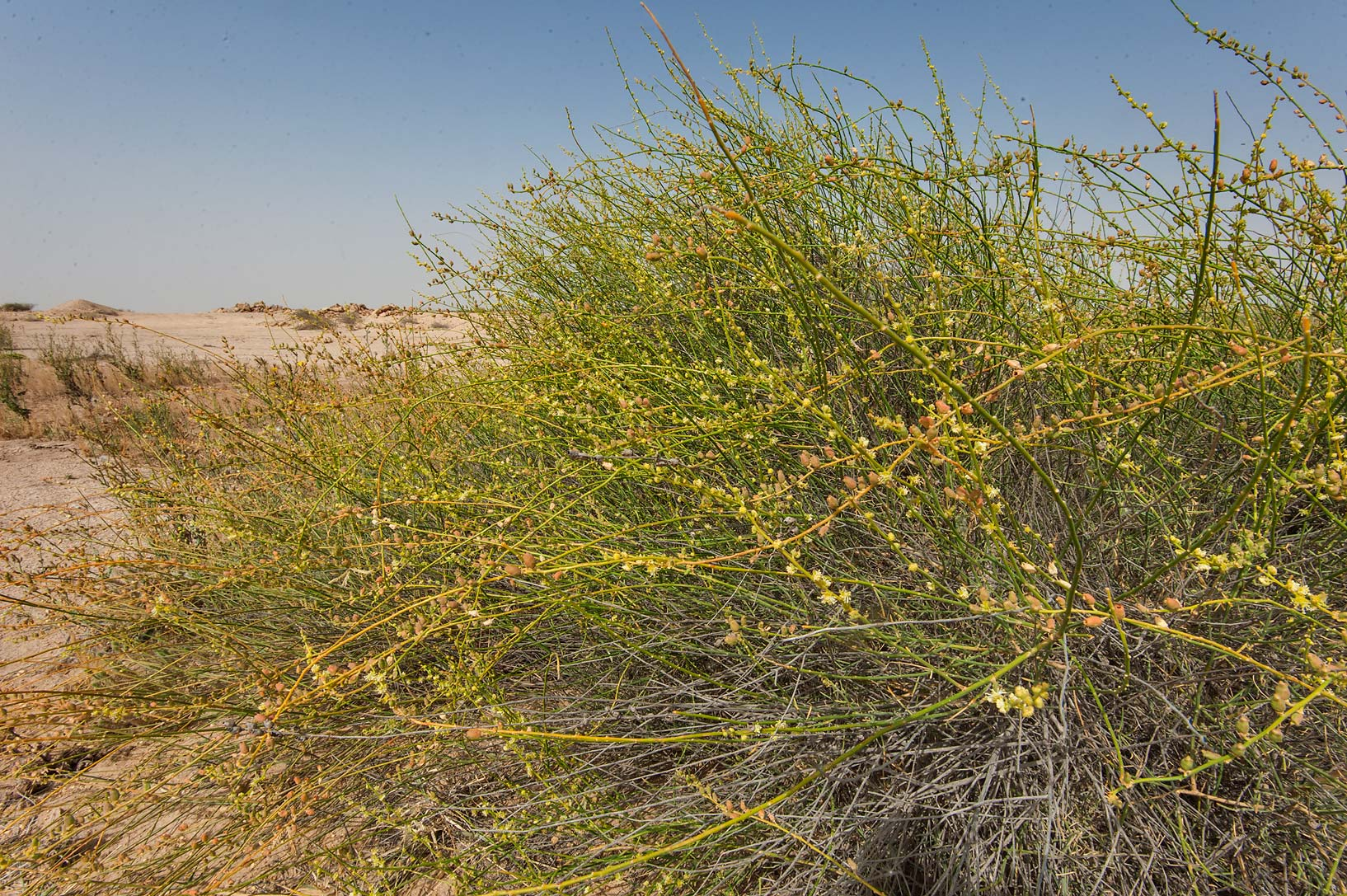 Ochradenus aucheri with flowers and fruits on...in Irkhaya (Irkaya) Farms. Qatar