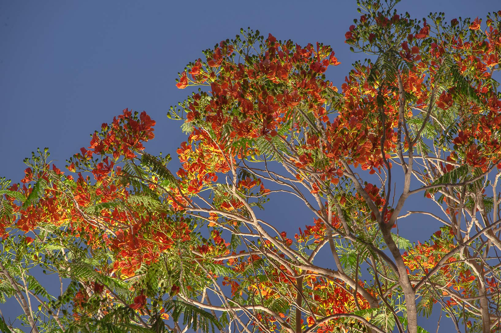 Royal Poinciana tree (Flamboyant, Delonix regia...Park at early morning. Doha, Qatar