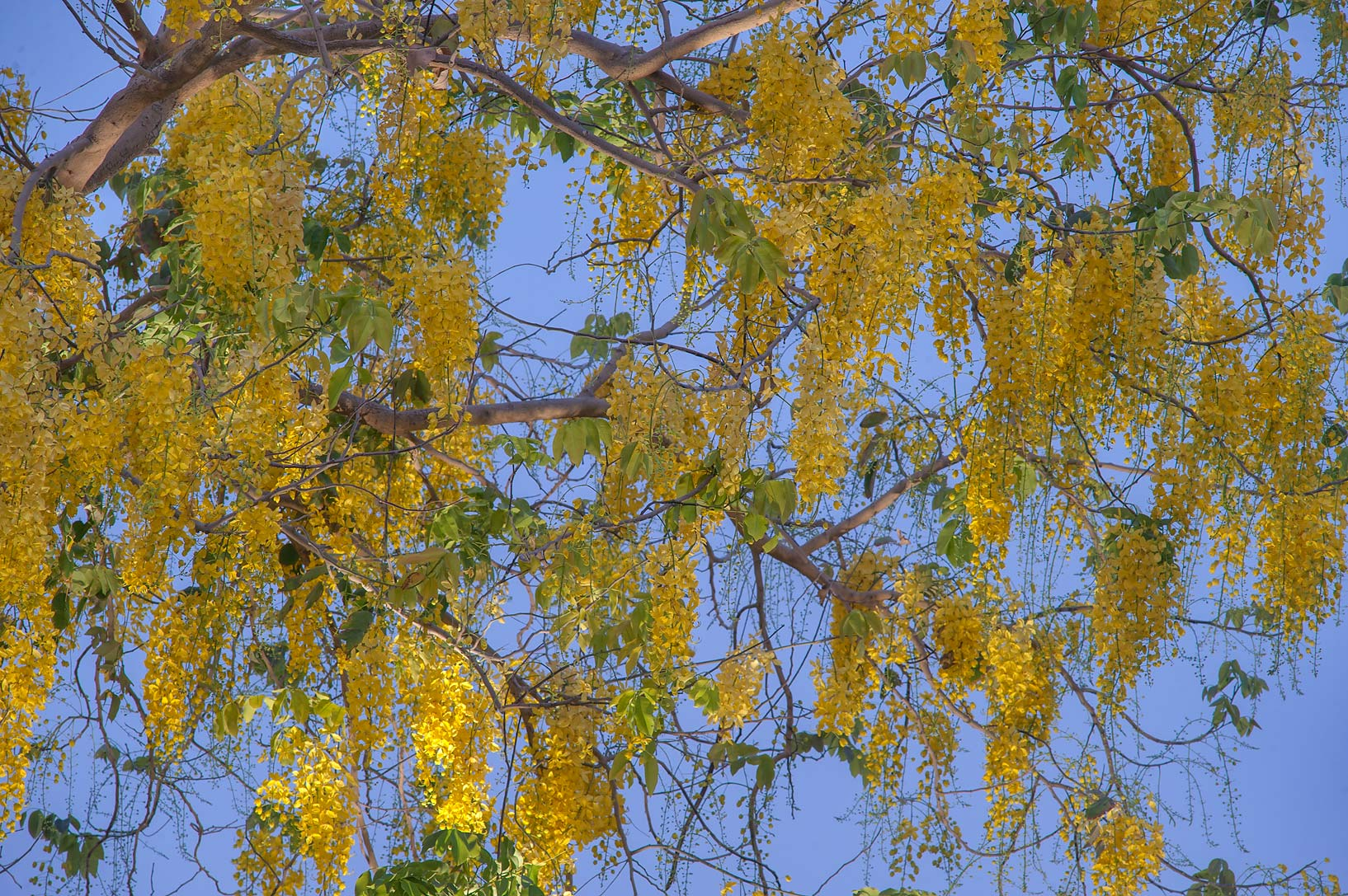 Blooming golden shower tree (Cassia fistula) in Aspire Park at morning. Doha, Qatar