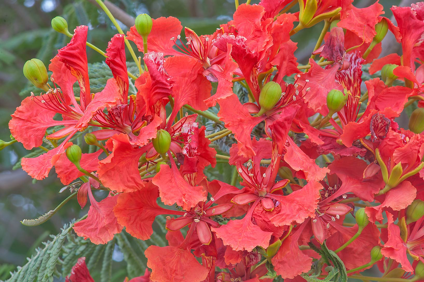 Royal Poinciana tree (Flamboyant, Delonix regia) with flowers in Aspire Park. Doha, Qatar