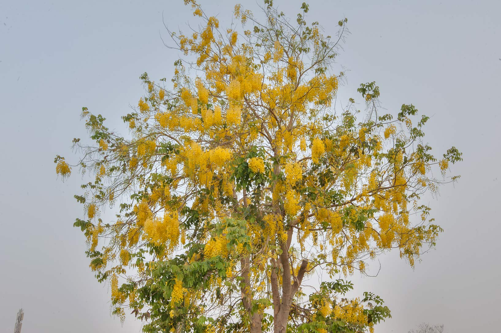 Blooming golden shower tree (Cassia fistula) in Aspire Park. Doha, Qatar